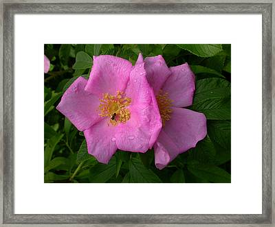 Rugosa Rose Framed Print by Raju Alagawadi