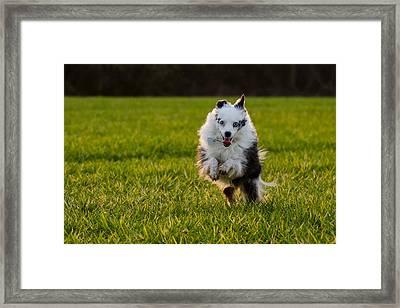 Running Australian Shepherd Framed Print by Daniel Precht