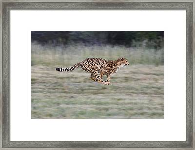 Running Cheetah In Namibia Framed Print by Suzi Eszterhas