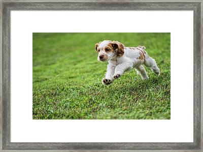 Running Cocker Spaniel Puppy Framed Print by Dan Sproul