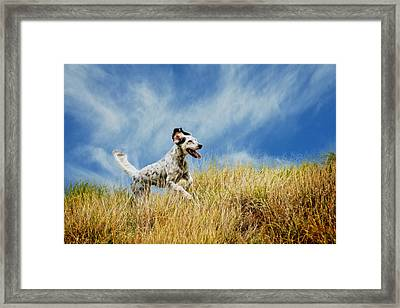 Running The Field, English Setter Framed Print by Flying Z Photography By Zayne Diamond