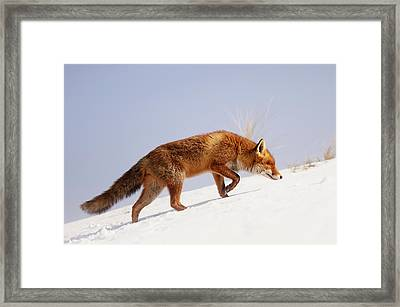 Running Up That Hill -red Fox In The Snow Framed Print