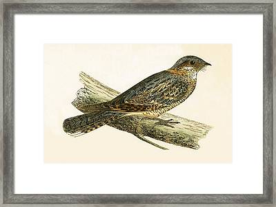 Russet Necked Nightjar Framed Print by English School