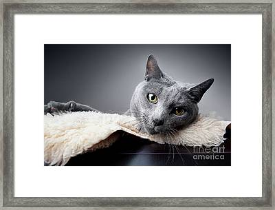 Russian Blue Cat Framed Print