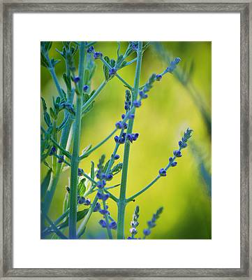 Framed Print featuring the photograph Russian Sage by Douglas MooreZart