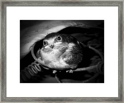 Rusted Perch - Baby Barn Swallow  Framed Print by Christena Stephens