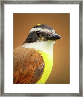 Rusty Margined Flycatcher Parque Del Cafe Colombia Framed Print