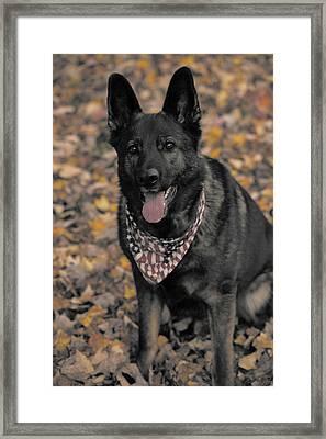Saber In Autumn Framed Print by Karol Livote