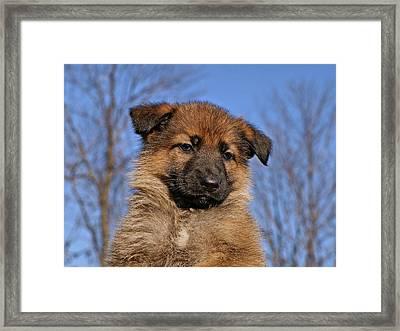 Sable German Shepherd Puppy II Framed Print by Sandy Keeton