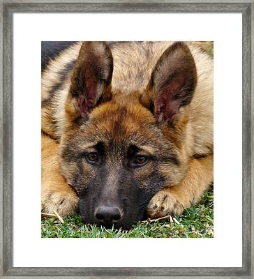 Sable German Shepherd Puppy Framed Print