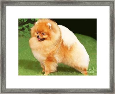 Sable Pomeranian Framed Print