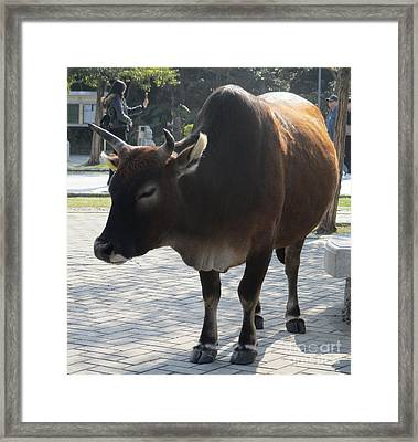 Framed Print featuring the photograph Sacred Cow 2 by Randall Weidner