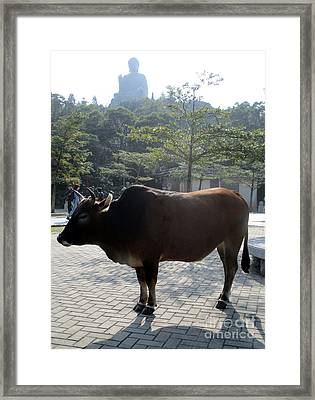 Framed Print featuring the photograph Sacred Cow 3 by Randall Weidner