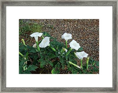 Sacred Datura 2278 Framed Print by David Mosby