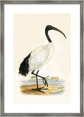 Sacred Ibis Framed Print by English School