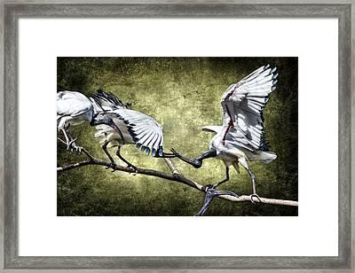 Sacred Ibis Photobombing Framed Print