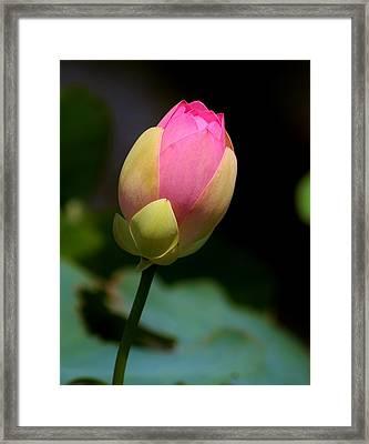 Sacred Lotus Bud 3 Framed Print