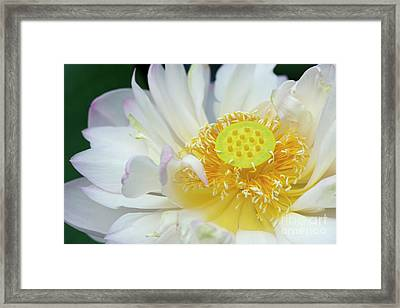 Sacred Lotus Flower Framed Print by Tim Gainey