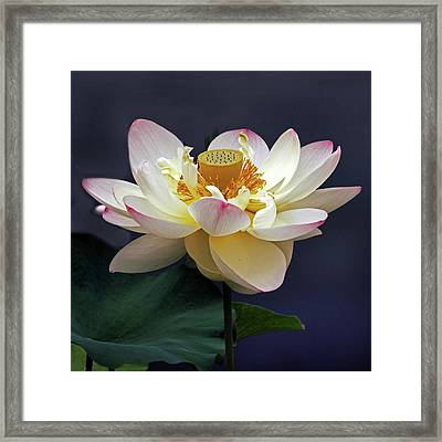 Sacred Lotus Framed Print