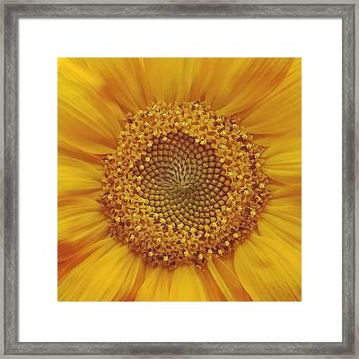 Sacred Sunflower Framed Print