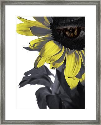Sad Sunflower Framed Print by Kelly Jade King