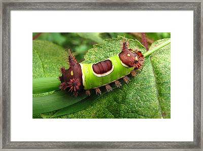Saddleback Caterpillar Framed Print