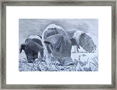 Saddleback Piglets Framed Print by Mike Jory