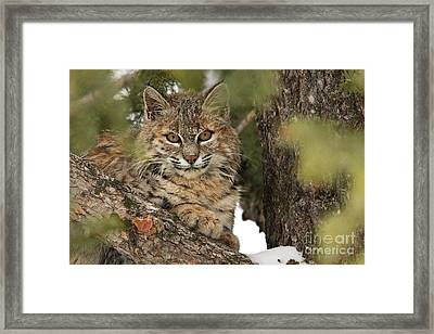Catbird Seat   Framed Print by Aaron Whittemore