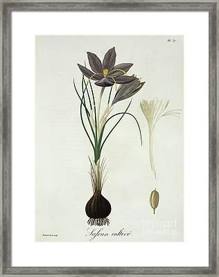 Saffron Crocus Framed Print by LFJ Hoquart