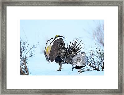 Sage Grouse Framed Print by Dennis Hammer