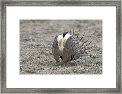 Sage Grouse Framed Print