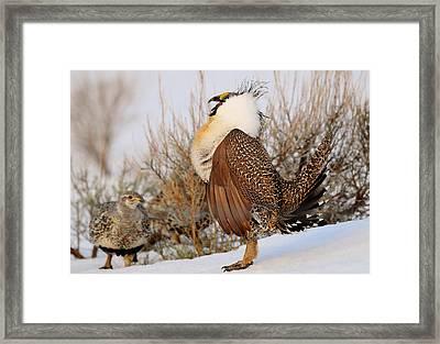 Sage Grouse Strut Framed Print by Dennis Hammer