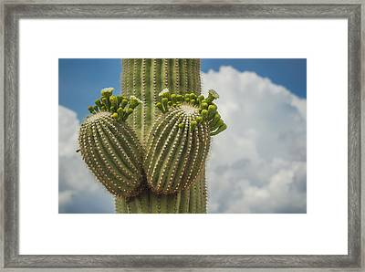 Saguaro Bloom Framed Print