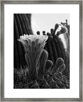Saguaro Bloom Framed Print