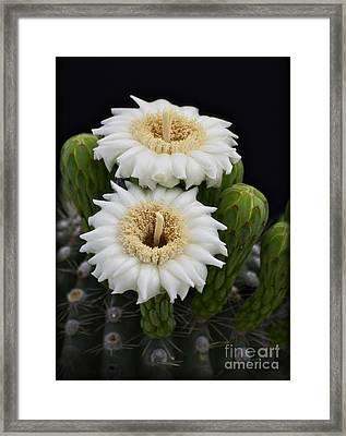 Saguaro Blooms II Framed Print