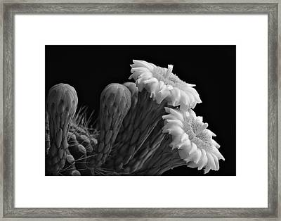 Saguaro Blooms In Black And White  Framed Print