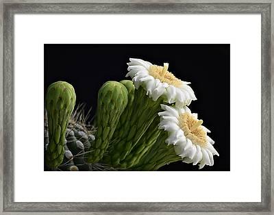 Saguaro Blooms  Framed Print