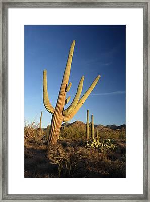 Saguaro Framed Print by Eric Foltz