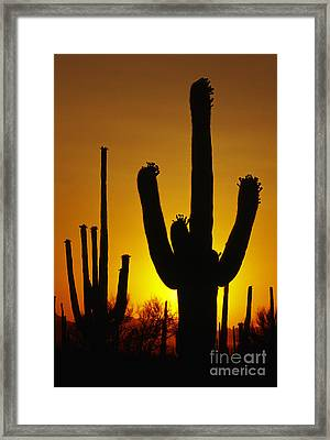 Saguaro Sunset Framed Print by Sandra Bronstein