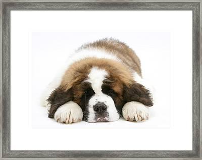 Saint Bernard Puppy Sleeping Framed Print by Mark Taylor