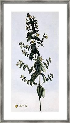 Saint John's Wort Framed Print