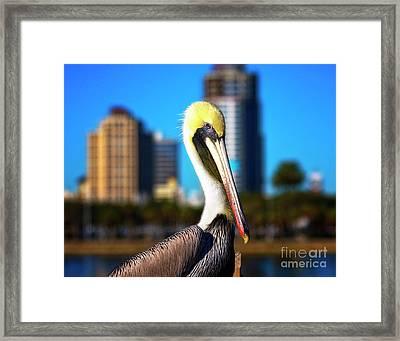 Saint Petersburg Pelican Framed Print by Stephanie Hayes
