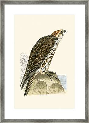 Saker Falcon Framed Print by English School