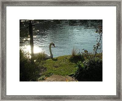 Salisbury Swan Framed Print by Jonathan Kotinek