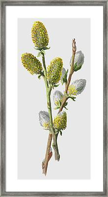 Sallow Framed Print