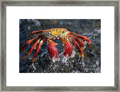 Sally Lightfoot Crab In Water Framed Print by Sami Sarkis