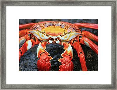 Sally Lightfoot Crab Framed Print by Sue Cullumber