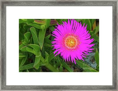 Sally-my-handsome Succulent Flower - Carpobrotus Acinaciformis Framed Print by Jivko Nakev