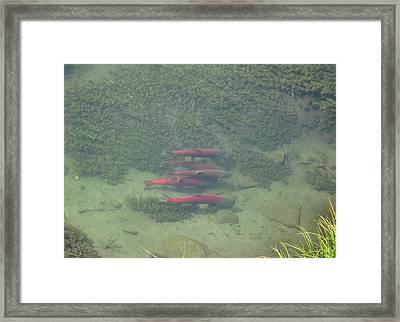 Framed Print featuring the photograph Salmon by Adam Owen