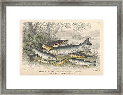 Salmon And Trout Framed Print